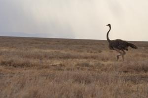 Run! Ostrich! Run!