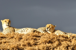 Cheetahs resting after a chase and hunt, taking in the warm evening sun.